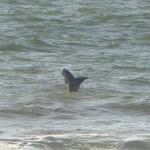 Hurley Shark